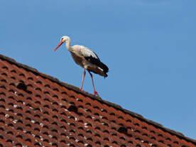Storch gesehen auf einem Dach in der Innenstadt von Crailsheim 28.06.2015