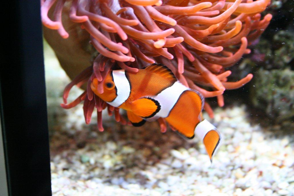 ein echter clownfisch amphiprion percula an der alles geliebten anemone sea life berlin am 3. Black Bedroom Furniture Sets. Home Design Ideas