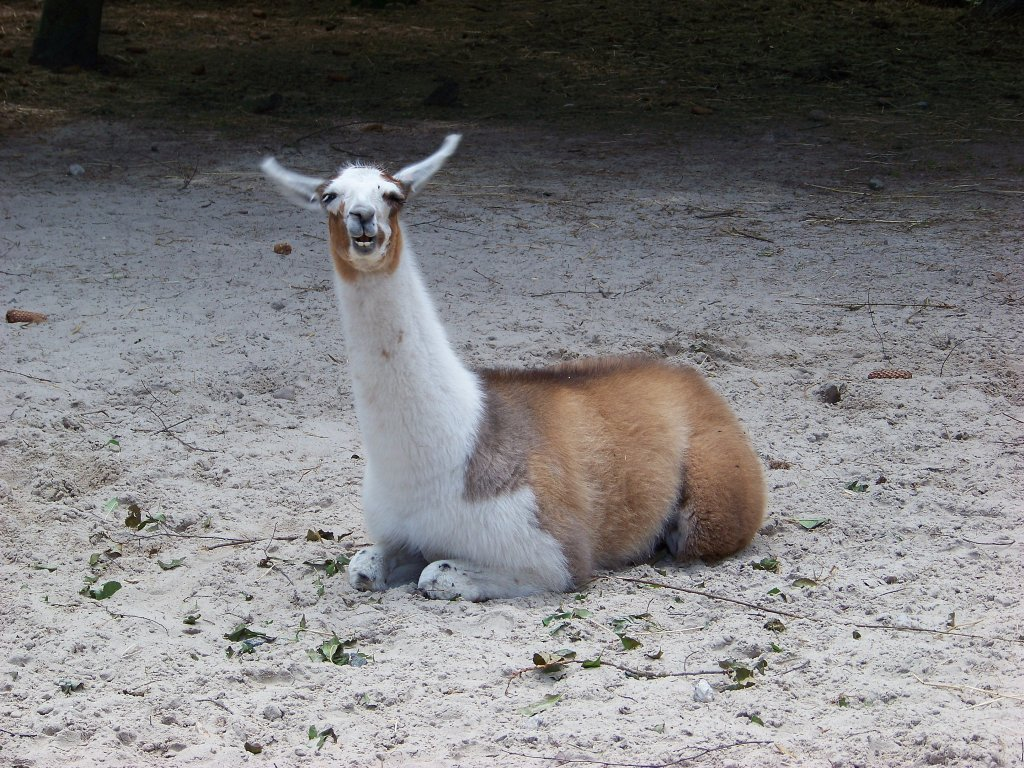 ein lama: