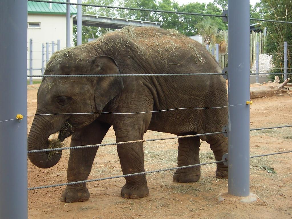 eine kleiner elefant im zoo von houston tx tier. Black Bedroom Furniture Sets. Home Design Ideas
