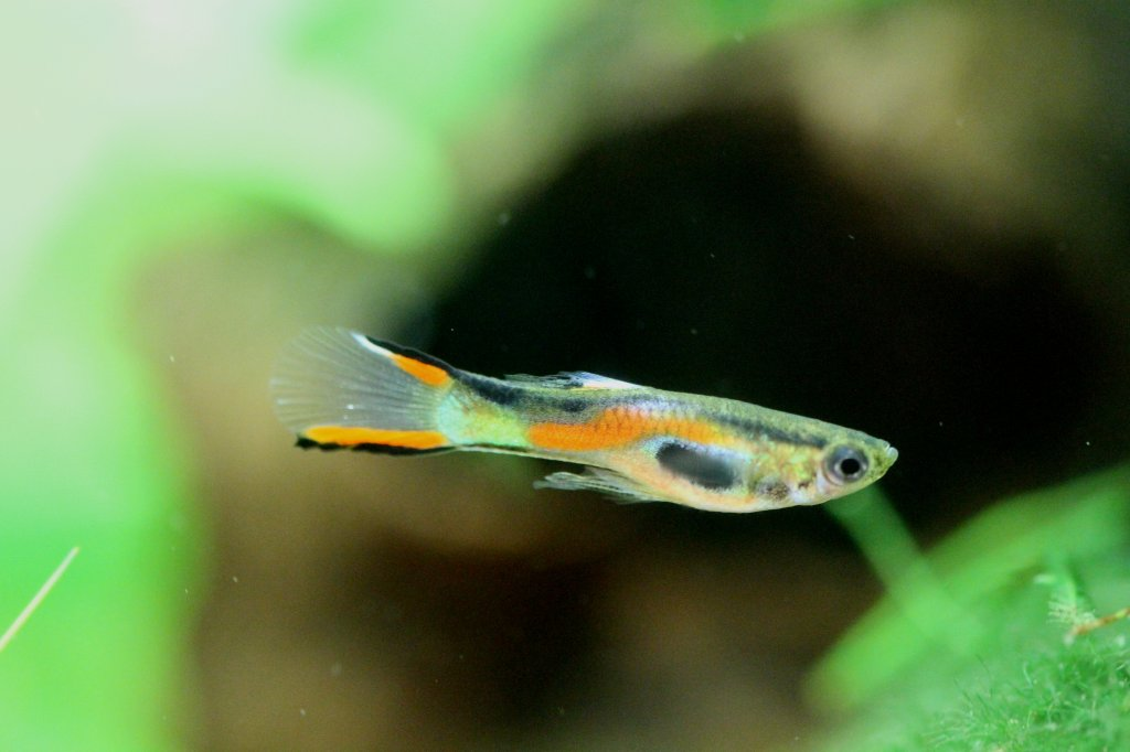 Pin double swordtail endler guppy hybrid pro on pinterest for Endler guppy