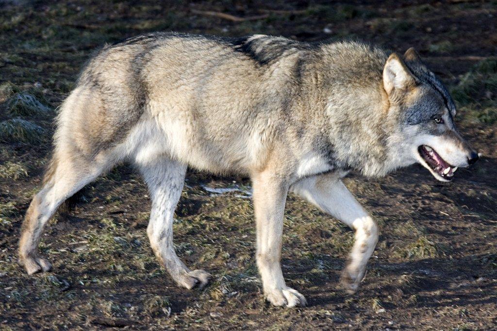 Europ Ischer Wolf M Nchen Tier