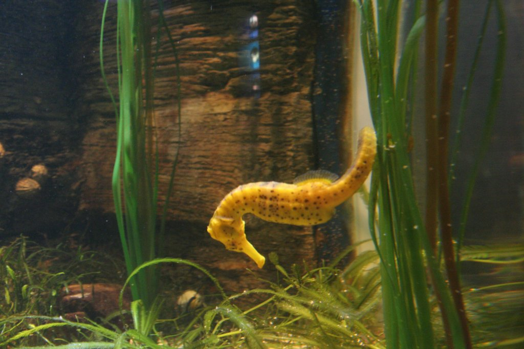 gepunktetes seepferdchen hippocampus reidi am 10 im sea life berlin tier. Black Bedroom Furniture Sets. Home Design Ideas