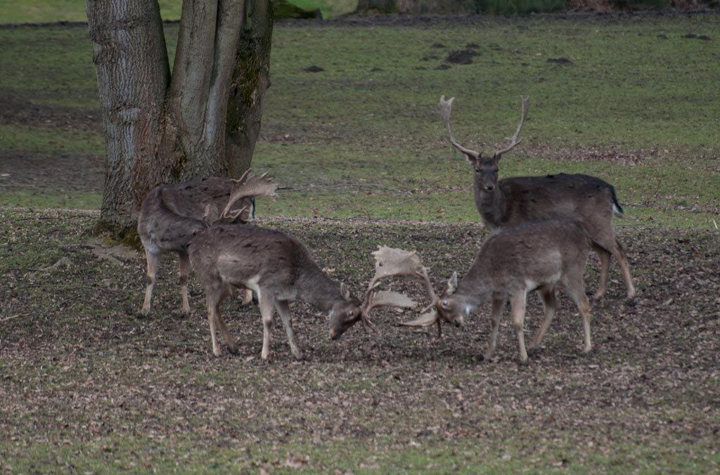 [Bild: rivalen-kaempfende-hirsche-schlosspark-a...n-3134.jpg]