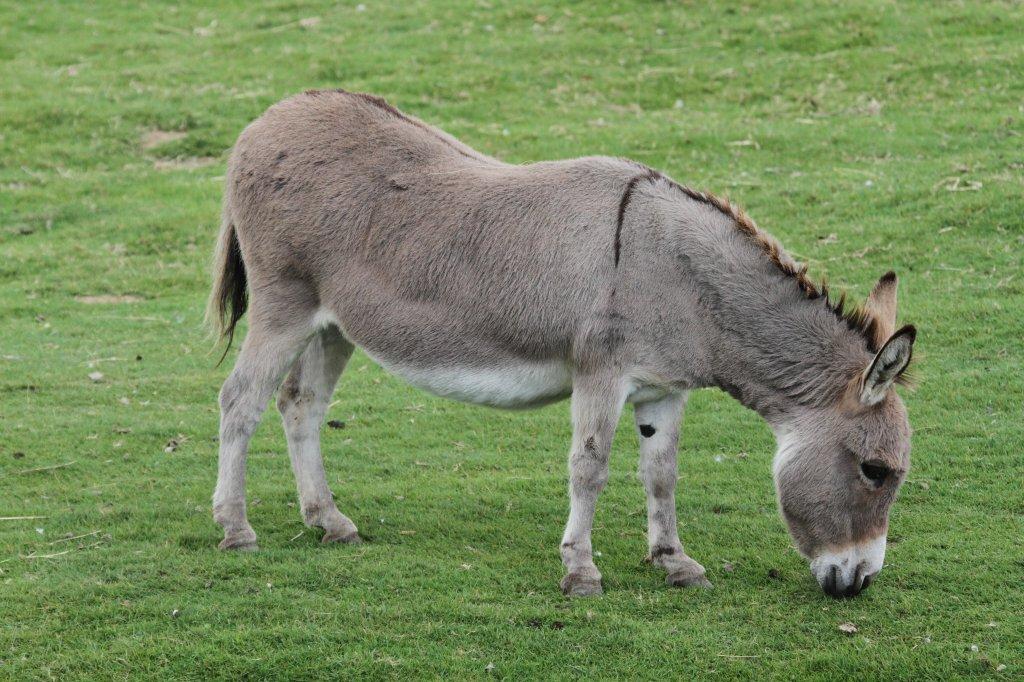 Esel und Zwergsex