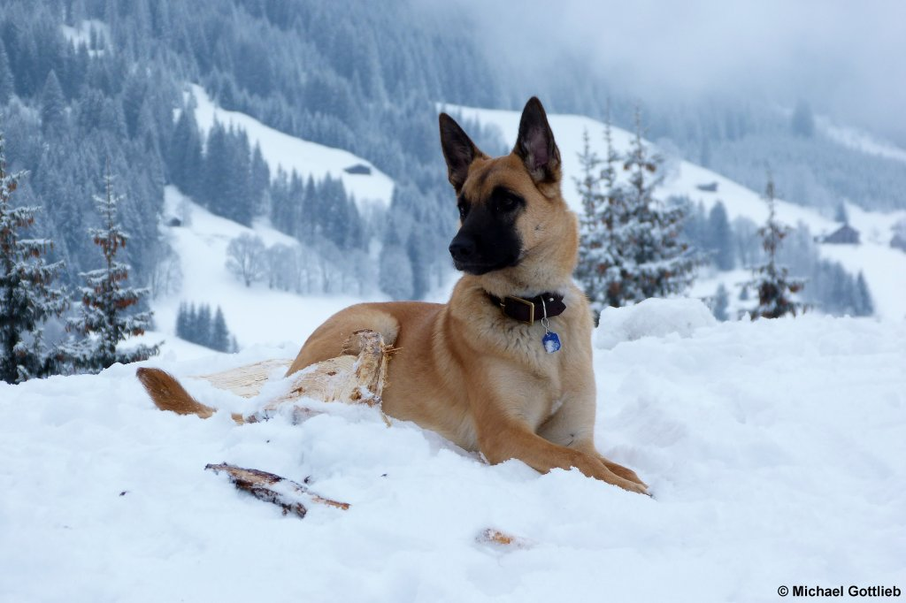 sch ferhund im schnee gesehen im kleinwalsertal beim aufstieg zur wiesalpe im wildental januar. Black Bedroom Furniture Sets. Home Design Ideas