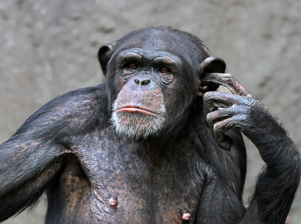 Schimpansen Bilder