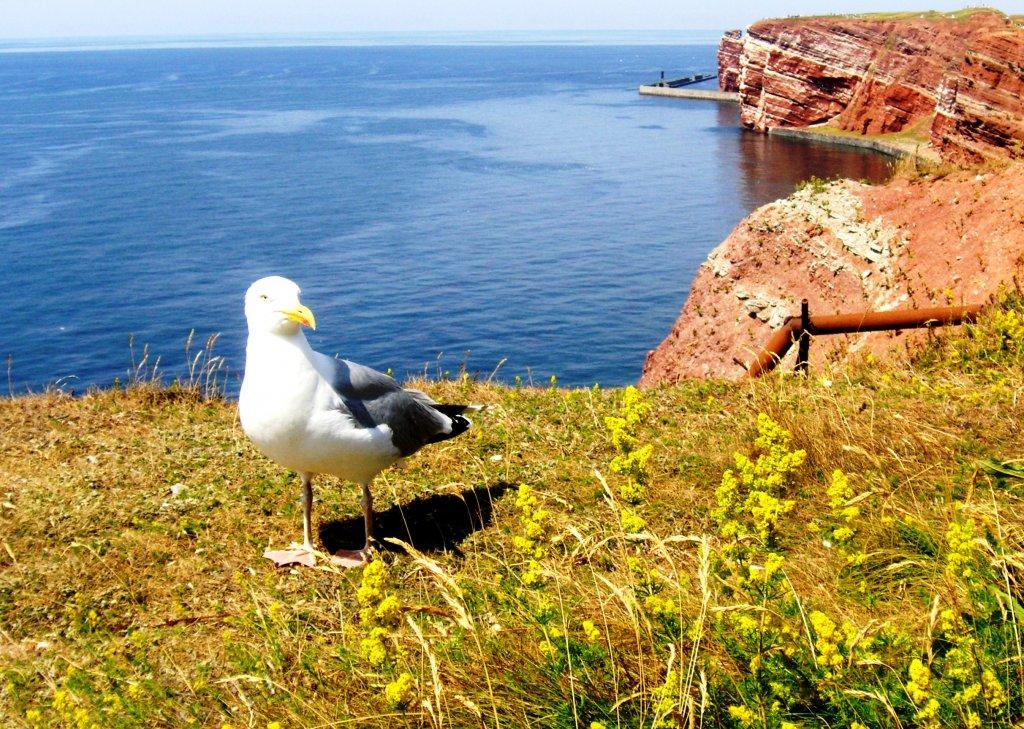 Silbermöwe DEUTSCHLAND Helgoland 13 07 2006 Tier