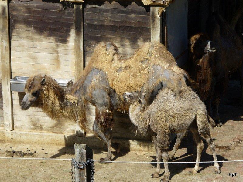 walter zoo gossau sg bewohner ein kamel dame mit jungem foto vom tier. Black Bedroom Furniture Sets. Home Design Ideas
