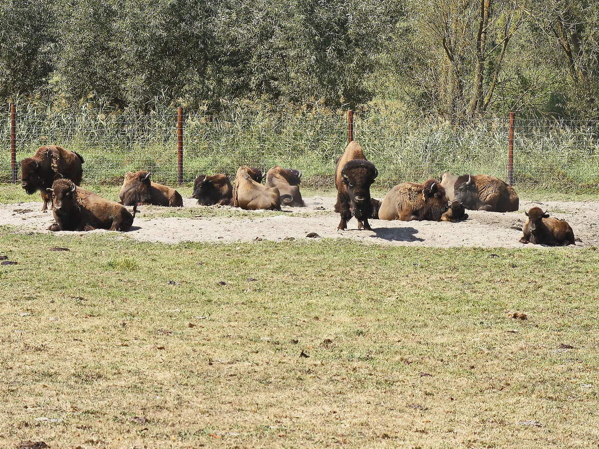 Die Bisons in der Elch und Rentierfarm in Kleptow am 17. August 2018.