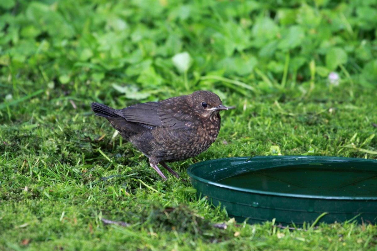 Ein Amselküken an der Vogeltränke in unserem Garten. Ratzeburg ...