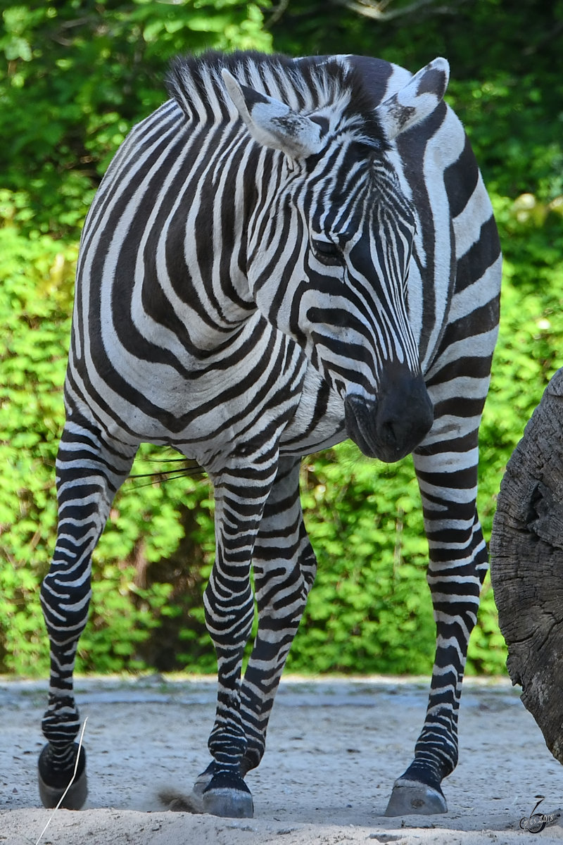 Ein Böhm-Steppenzebra Ende April 2018 im Zoo Berlin.