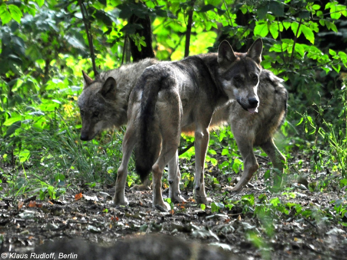 europ ischer wolf canis lupus lupus m nnchen im tierpark berlin august 2015 tier. Black Bedroom Furniture Sets. Home Design Ideas