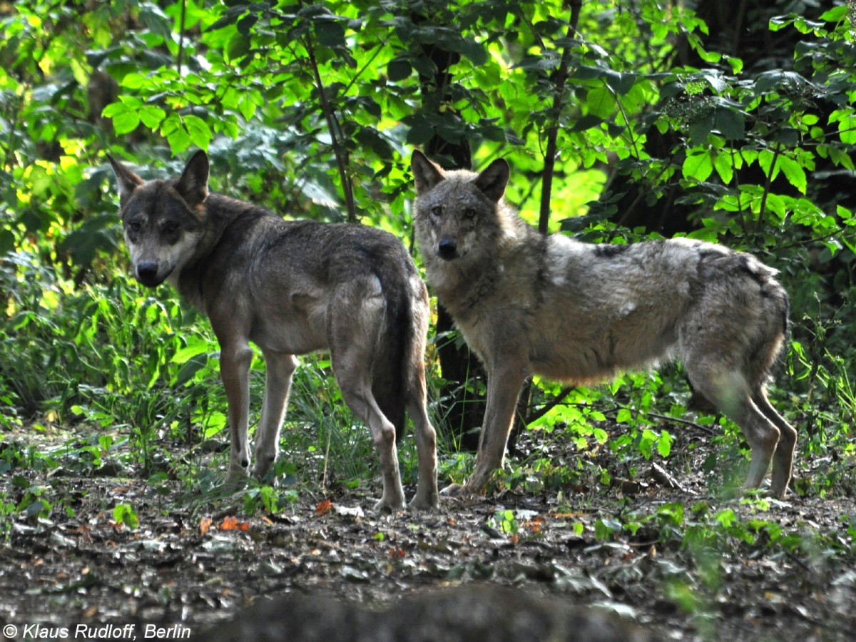 europ ischer wolf canis lupus lupus paar im tierpark berlin august 2015 tier. Black Bedroom Furniture Sets. Home Design Ideas