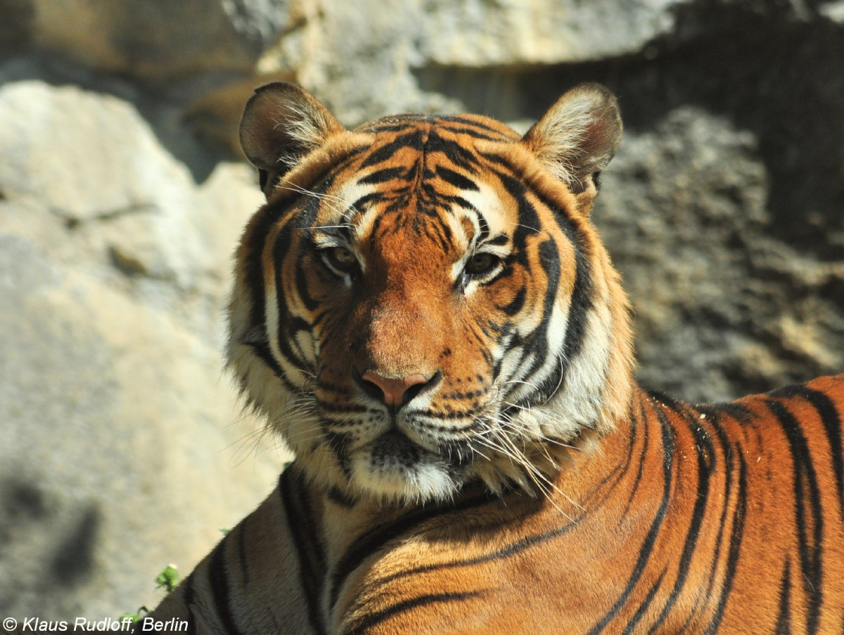 malayatiger panthera tigris corbetti im tierpark berlin