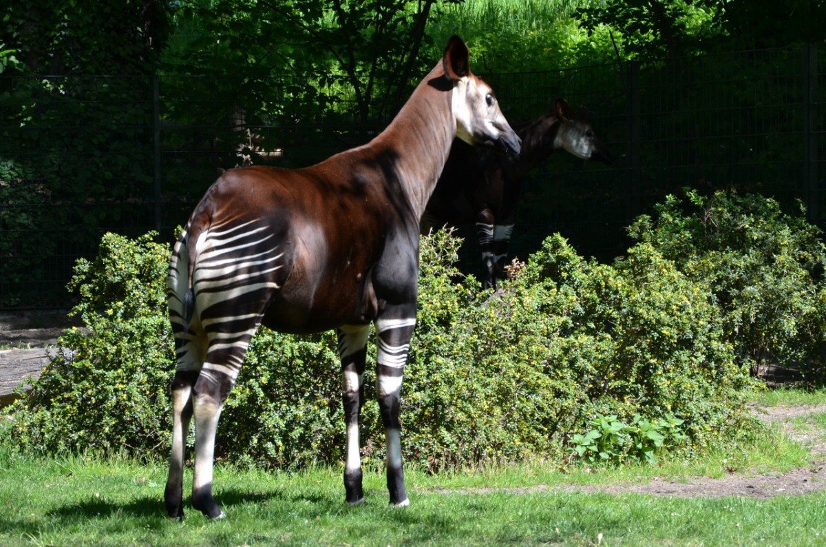 Okapi     Zoo Berlin  28.04.2014