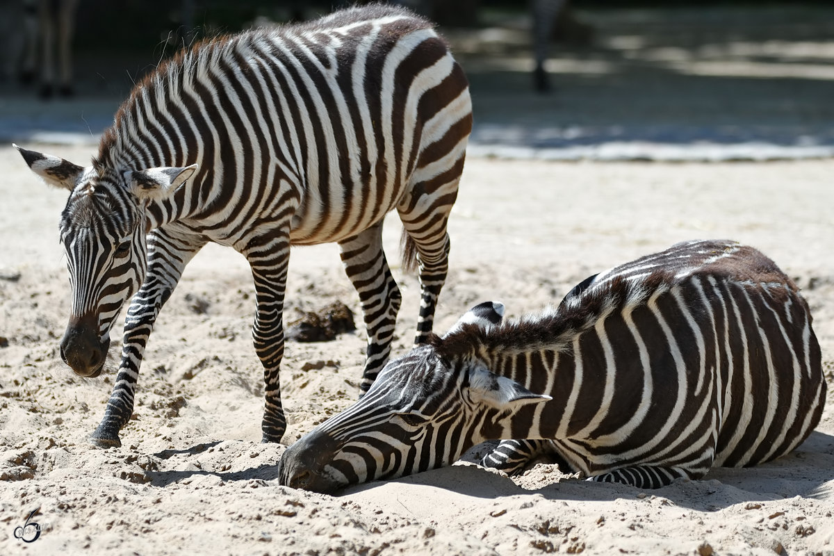 Zwei Grevy-Zebras im Zoo Berlin. (April 2018)