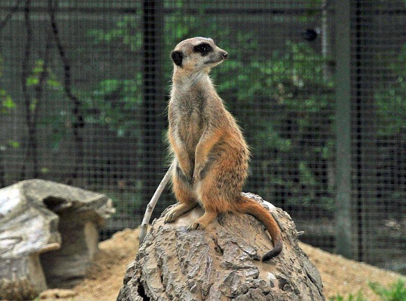 Bildergebnis für kölner zoo erdmännchen