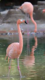 Chile-Flamingos, abgelichtet im Zoo Barcelona (Dezember 2011)