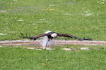 Weisskopfseeadler in Tambach am 26.05.2016.