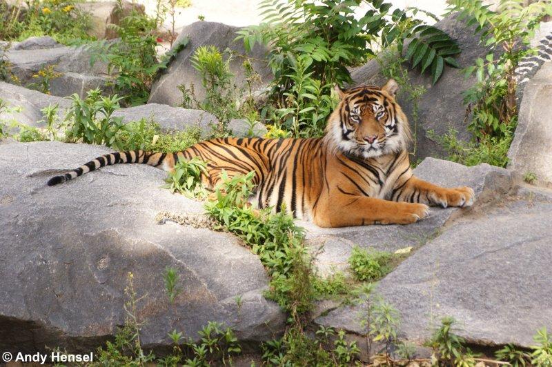 w rde man ja gerne als haustier halten aber sibirischer tiger oder auch amurtiger tier. Black Bedroom Furniture Sets. Home Design Ideas